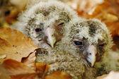 Owl babies — Stock Photo