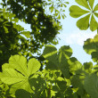 Green chestnut leaves with sunny blue sk - Stock Photo