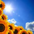 Sunflower against blue sky — Stock Photo #2183032