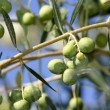 Stock Photo: Olive Branch