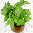 Stock Photo: Fresh basil plant in pot