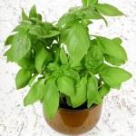 Fresh basil plant in pot — Stock Photo