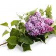 Lilac flower isolated on white backgroun — Stock Photo