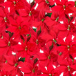 Stock Photo: Background of red poinsettia plants