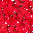 Background of red poinsettia plants - Stock Photo