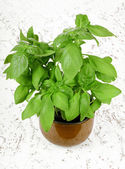 Fresh basil plant in pot — Stock Photo