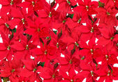 Background of red poinsettia plants — Stock Photo