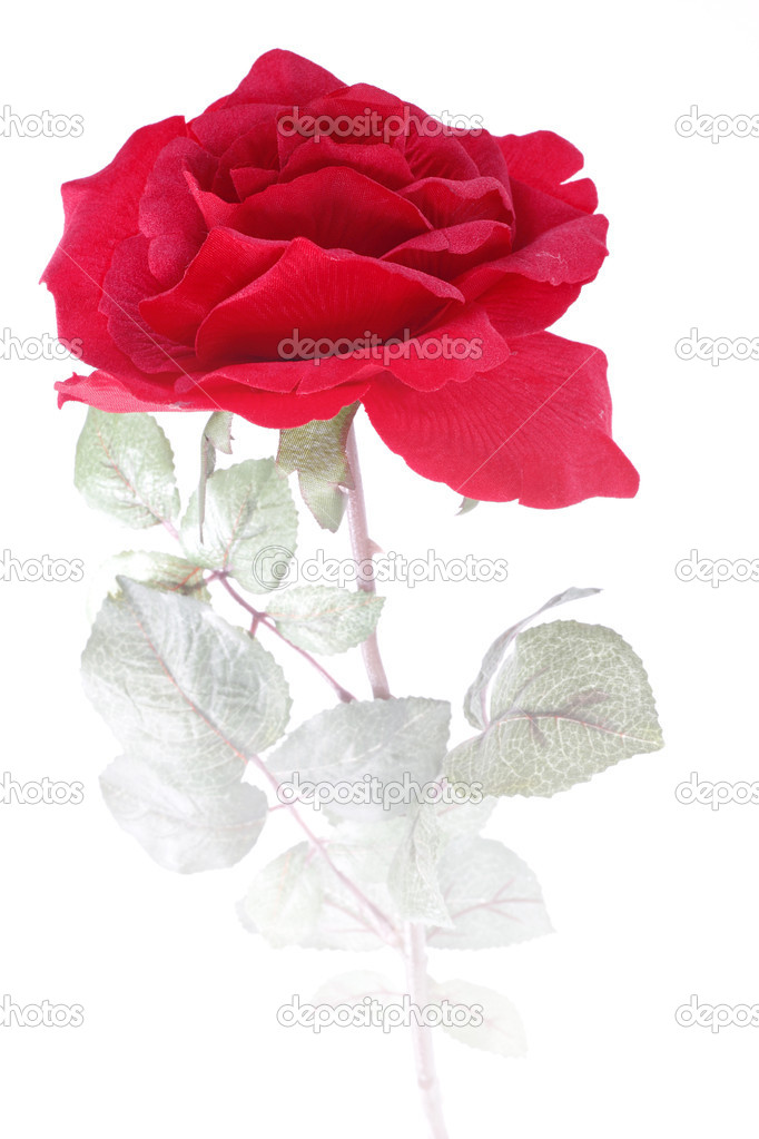 Single Red Rose  Stock Photo #2316189