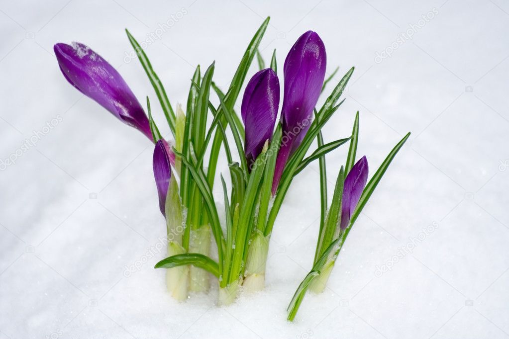 Spring flower in the snow — Stock Photo #2316348