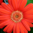 Orange gerbera — Stock Photo #2417128