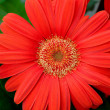 Orange gerbera — Stock Photo #2417477