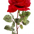 Single red Rose — Stock Photo #2673111
