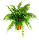 Fern in a pot — Stock Photo