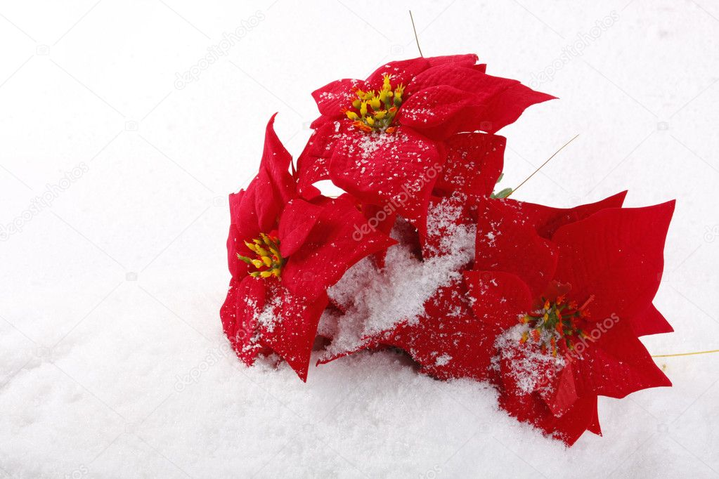 Christmas red poinsettias background over snowflake background  Stock Photo #2672366