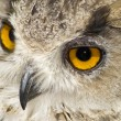 Owl with big orange eyes — Stock Photo