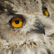 Stock Photo: Owl with big orange eyes