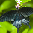 Black butterfly on a leaf — Stock Photo