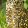 Stock Photo: Brown owl