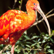 Red crane bird — Stock Photo