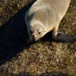 Seal going to the water — Foto de Stock