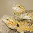 Two Brown lizzards — Stock Photo