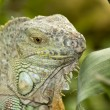 Iguana in the wild — Stock Photo #2277790