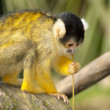 Marmoset monkey on a branch - Stock Photo