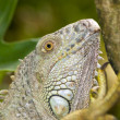 Iguana in the wild - Stock Photo
