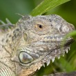 Iguana in the wild — Stock Photo #2279183