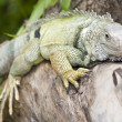 Iguana on a branch — Stock Photo