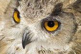 Hibou aux grands yeux orange — Photo