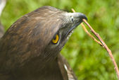 Eagle with twig in mouth — Stock Photo