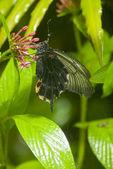 Farfalla nera coperta di goccioline — Foto Stock