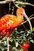 Czerwony Żuraw ptak — Zdjęcie stockowe