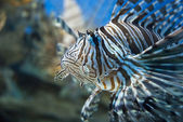 Zebra fish — Stock Photo