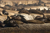 Lots of seals — Stock Photo