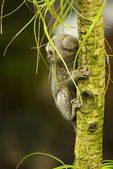 Baby Marmoset monkey on a branch — Stock Photo