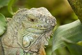 Iguana in the wild — Stock Photo