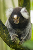 Marmoset monkey on a branch — Stock Photo