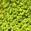 Green plants as background — Stock Photo
