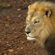 Royalty-Free Stock Photo: Male lion looking intently