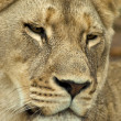 Stock Photo: Female lion face