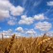 Wheat field on a sunny day — Stock Photo #2321588