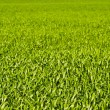 Stock Photo: Green wheat or barley leaves