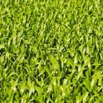 Green wheat or barley leaves — Stock Photo
