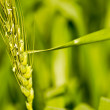 Close up of wheat or barley stem — Stock Photo #2322290