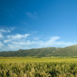 Green wheat or barley field — Stock Photo