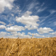 Stock Photo: Wheat field on a sunny day