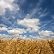 Wheat field on a sunny day — Stock Photo #2328092