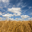 Wheat field on a sunny day — Stock Photo